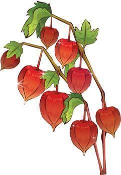 free vector Ground Cherry Flower 1