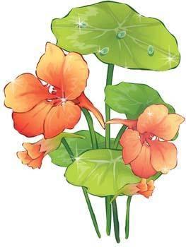 Nasturcia Flower