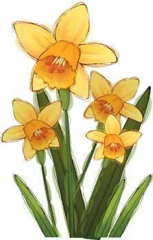 Narcis Flower 5