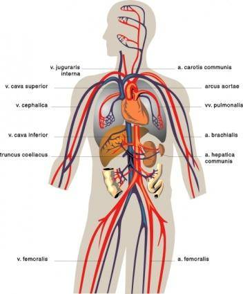 free vector Veins Medical Diagram clip art