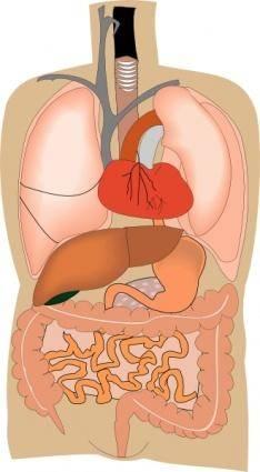 Internal Organs Medical Diagram clip art 125591