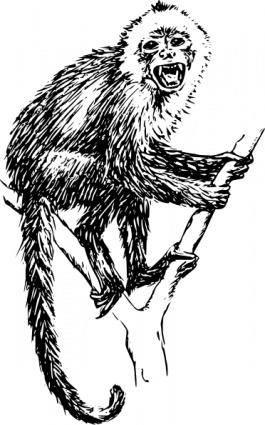 Capuchin Monkey clip art