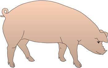 Pig 36