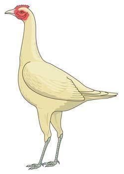 free vector Cock 10
