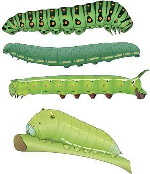free vector Caterpillar 4