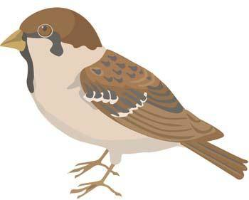 Burung Pipit 1
