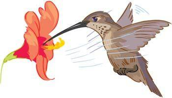 free vector Kolibri