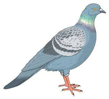 free vector Pigeon vector 5