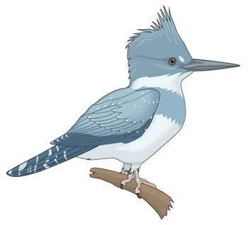 free vector Burung Pelatuk