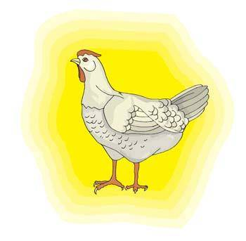 free vector Chicken 1