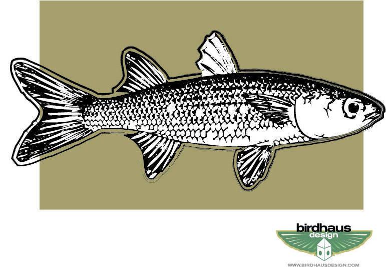 Mullet Fish Vector