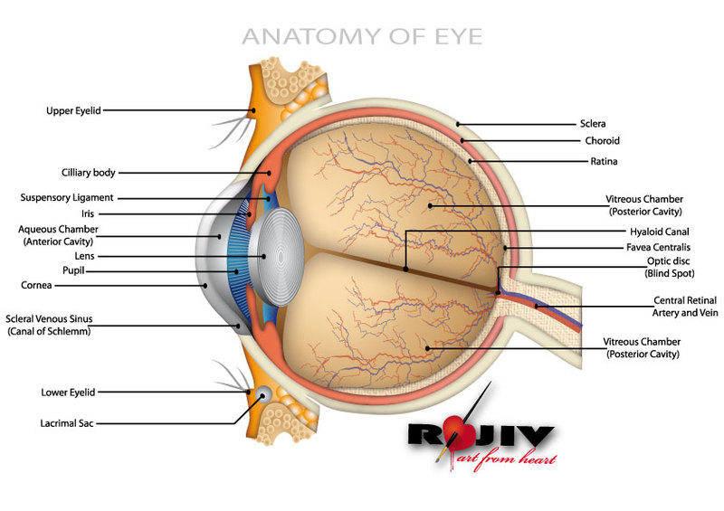 free vector Anatomy of Eye