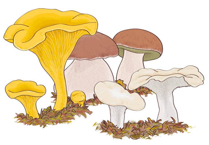 free vector Mushroom Boletus edulis